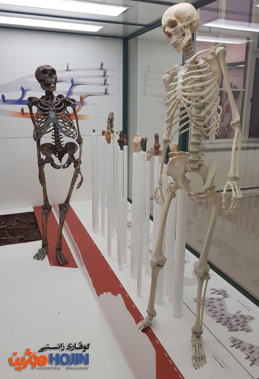 Homo Neanderthal vs Homo sapiens وێنەی ئێسکەپەیکەری مرۆڤی مۆدیڕن (مرۆڤی عاقڵ) (ڕاست) و هۆمۆ نیاندرتاڵ (چەپ). ئێسکەپەیکەری نیاندرتاڵەکە لە فەڕانسە دۆزراوەتەوە و ٥٠ هەزار ساڵ تەمەنییەتی.