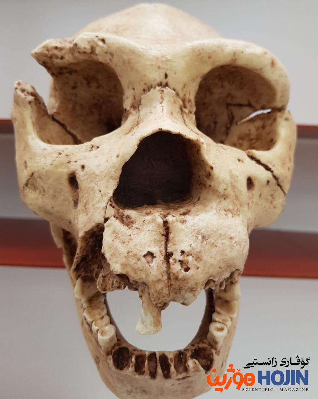 Homo heidelbergensis تەکمیلترین کاسەسەری ئەم جۆرەی مرۆڤە. ناوی میگوێلۆنە (دۆزەرەوەکەی) و تەمەنی بۆ ٤٠٠ هەزار ساڵ لەوەپێش دەگەڕێتەوە. زیاتر لە ٥هەزار کاسەسەری لەم جۆرە لە سپانیا دۆزراونەتەوە.