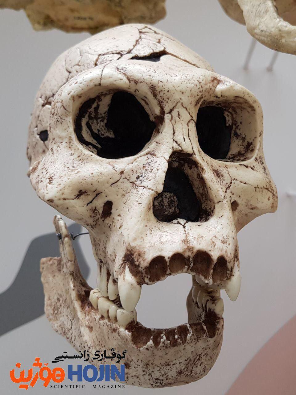 Homo erectus مرۆڤی ڕاستەباڵا یەکەم جۆری مرۆڤە کە ئاناتۆمییەکەی زۆر لە مرۆڤی مۆدێرن دەچێت. تەمەنی ئەم کاسەسەرە بۆ ١.٨ ملیۆن ساڵ لەمەوبەر دەگەڕێتەوە و لە گورجستان دۆزراوەتەوە.